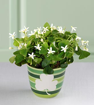Send greetings for the Luck o' the Irish with this blooming shamrock plant.