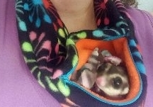 Weu0027ve discovered a zippered bonding pouch is a very useful item when bonding with a sugar glider. When a sugar glider joey is born it crawls up to a pouch ... & Arizona Sugar Glider Rescue - Adoption - Advice - Resources - Bonding
