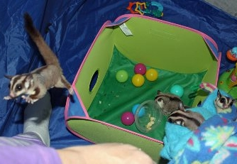 ... a pop up tent with screen siding when bonding with your sugar gliders. This offers you a safe small area for you to spend time socializing and playing ... & Arizona Sugar Glider Rescue - Adoption - Advice - Resources - Bonding