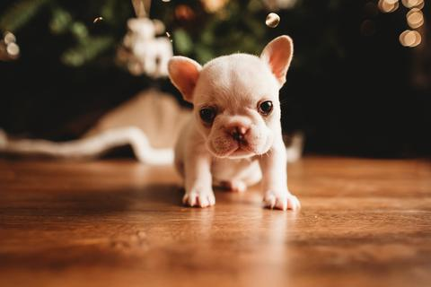 FRENCH BULLDOG PUPPY MAY 2021