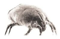 The common household dust mite