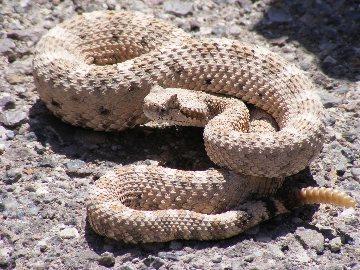 rattlesnake gaiters
