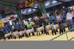 4-H/FFA Sheep Show