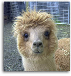 sweet_faced_alpaca