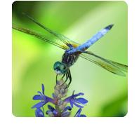 symbols: dragonfly