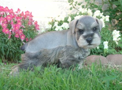 how to choose a miniature schnauzer puppy