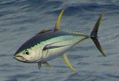 Hatteras Tuna Fishing