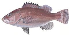 Hatteras Grouper Fishing