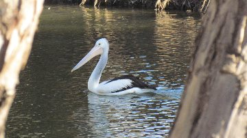 Pelican - Campaspe River Axedale