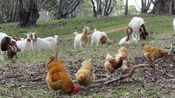 chicken goats