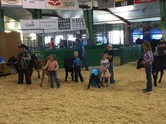 Bucket Calf Contest