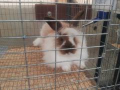 4-H/FFA Rabbit Show
