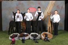 Alpaca Shows