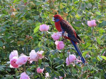 Davis Austin Rose Garden