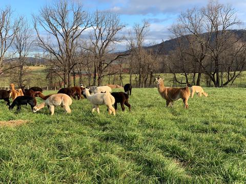 Alpaca Livestock Sales
